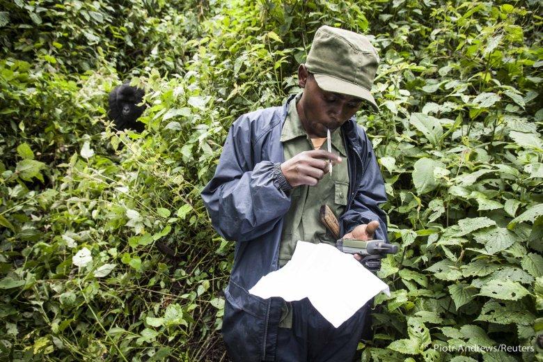 Młody samiec obserwuje strażnika parku robiącego notatki.