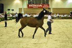 W tym roku aukcja Pride of Poland się nie odbędzie. Dyrekcja stadniny w Janowie Podlaskim zmienia nazwę i zasady największej i najważniejszej w Polsce aukcji koni arabskich.