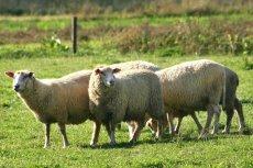 Pasienie owiec w Bieszczadach pracą marzeń. Dowód? Ogłoszenie na Facebooku.