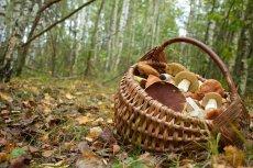 Niektóre gatunki grzybów dopiero po dwóch tygodniach od spożycia dają objawy zatrucia pokarmowego.