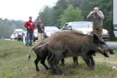 Dziki to nie tylko w Polsce gorący temat. W Szwecji właśnie odstrzelono dzika wyjątkowo silnie napromieniowanego.
