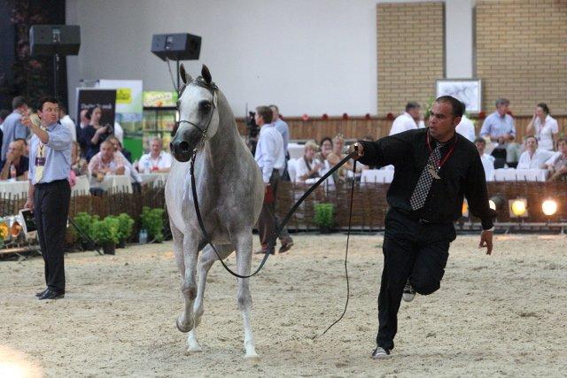 Rok 2011. Klacz Palabra ze stadniny koni arabskich w Janowie Podlaskim podczas aukcji Pride of Poland (sprzedana za 400 tysięcy euro).