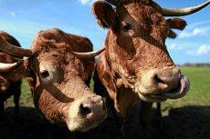 Krowa uciekła na wyspę na Jeziorze Nyskim. Radzi sobie całkiem dobrze.