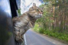 Kot nie odczuwa stresu podczas długich, samotnych wycieczek. Najchętniej pojechałby sam na koniec świata.