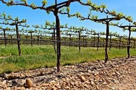 wiosna w kalifornijskiej winnicy
