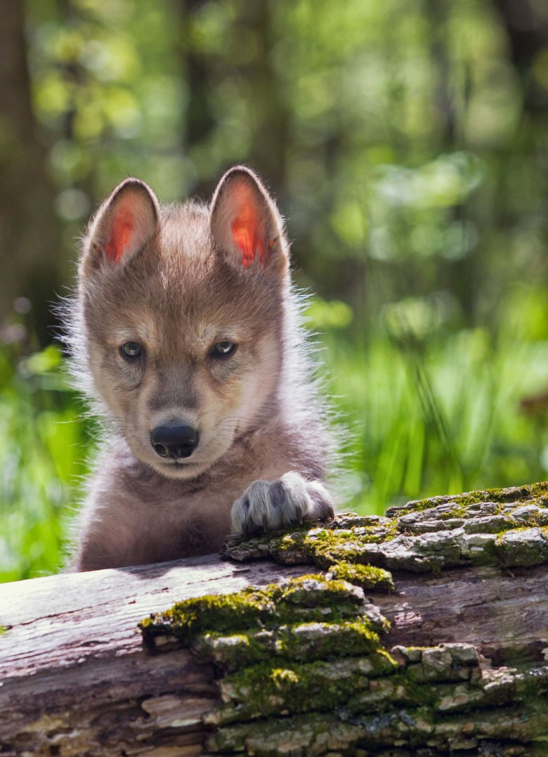 Szczenię wilka